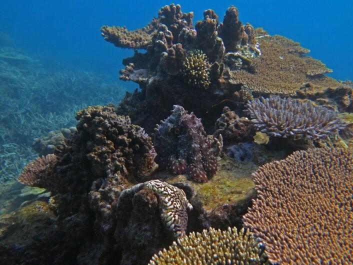 """I tillegg til de tre hovedpremiene og de nevnte underkategoriene, fikk <em>BMC Ecology</em>-redaktør Chris Foote velge sin favoritt. Han valgte dette korallrevet som Michelle Achlatis fra Universitetet i Queensland i Australia har tatt. Midt i bildet er det en blekksprut som later som om den er en korall. (Foto: Michelle Achlatis, <a href=""""https://creativecommons.org/licenses/by/4.0/"""">Creative Commons BY 4.0</a>)"""