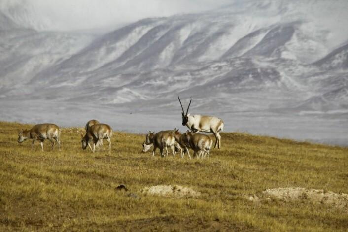 """Ulla til den tibetanske anilopen var så populær at bestanden på flere millioner ble redusert til 70000–80000 i slutten av forrige århundre. Nå er de på vei opp igjen. Her har Zhigang Jiang fra Det kinesiske vitenskapsakademiet foreviget en hann som passer på haremet sitt på Tibetplatået. For det vant han klassen «Bevaringsøkologi og biodiversitet». (Foto: Zhigang Jiang, <a href=""""https://creativecommons.org/licenses/by/4.0/"""">Creative Commons BY 4.0</a>)"""