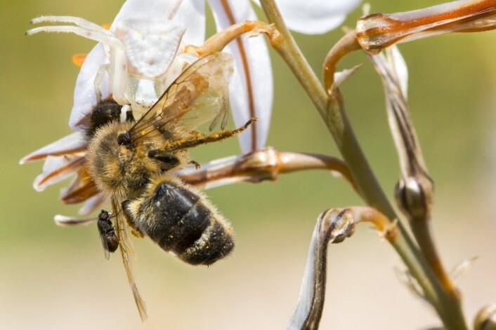 """Tredjeplass ble det til Roberto García-Roa for denne lille fortellingen om fire arter. En edderkopp kamuflert i en hvit plante fanger en bie som også blir angrepet av en parasittisk flue. (Foto: Roberto García-Roa, <a href=""""https://creativecommons.org/licenses/by/4.0/"""">Creative Commons BY 4.0</a>)"""