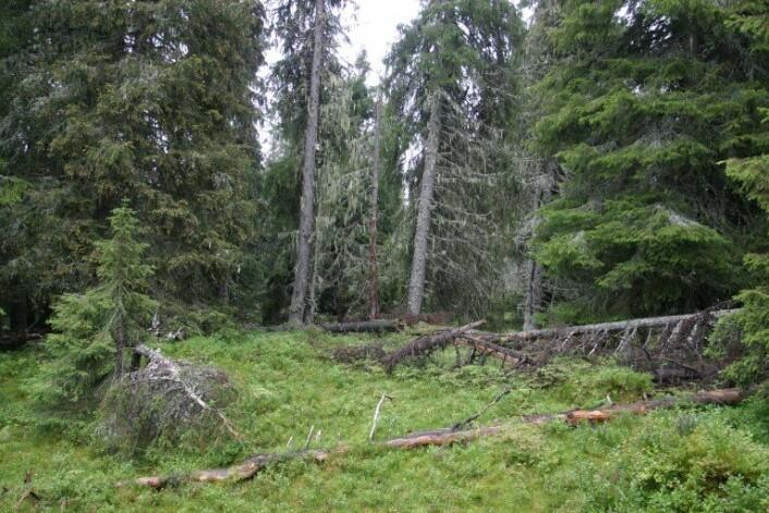 Fleretasjet skog er en forutsetning for såkalt lukket hogst. Det betyr at skogsarbeidere ikke tar alle trærne, men lar flere stå igjen. Luft mellom trærne gir nemlig mer lys til skogbunnen, som igjen gir rikere vegetasjon. ( Foto: John Yngvar Larsson)
