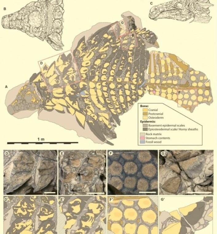 Figuren gir et overblikk over hvilke deler av dinosauren forskerne har funnet. (Illustrasjon: Current Biology)