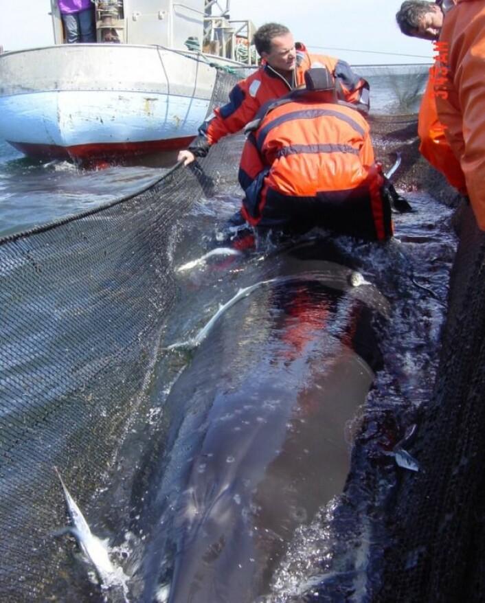 To av forskerne kravler ut i garnet og opp på hvalen for å montere instrumentene på ryggfinnen. (Foto: Aarhus Universitet)