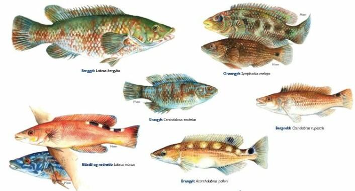 Dette er de ulike leppefiskene i norsk farvann. (Illustrasjon: Havforskningsinstituttet)