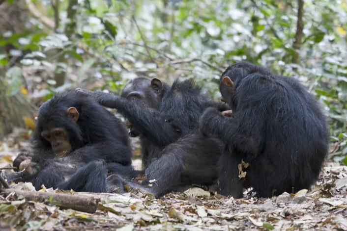 """Sjimpanser finner lett mat og kan koste på seg fri sex og løsere parforhold. Disse sjimpansene lever i Gombe Stream National Park i Tanzania. (Foto: Ikiwaner, <a href=""""https://en.wikipedia.org/wiki/en:GNU_Free_Documentation_License"""">GNU Free Documentation Licence</a>.)"""