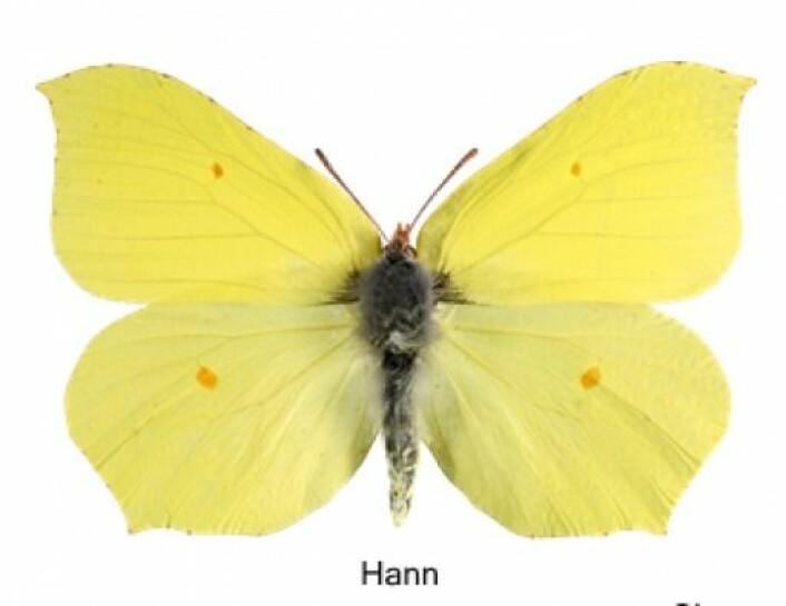 Sitronsommerfuglen har innebygd frysevæske i blodet og kan overvintre i mange minusgrader. (Foto: Vladimir Kononenko/Natur-historisk museum, UiO)