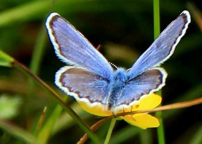 Lakrismjelt-blåvingener ikke vært sett i Norge på fire år. (Foto: Gudveig Førle)