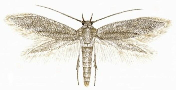 Denne lille sommerfuglen, Elachista tanaella, ble oppdaget i 2002. Den er helt ensfarget gråbrun og vingespennet er bare på 10 mm.<br>(Illustrasjon: Nini Cecilie Roll Aarvik)