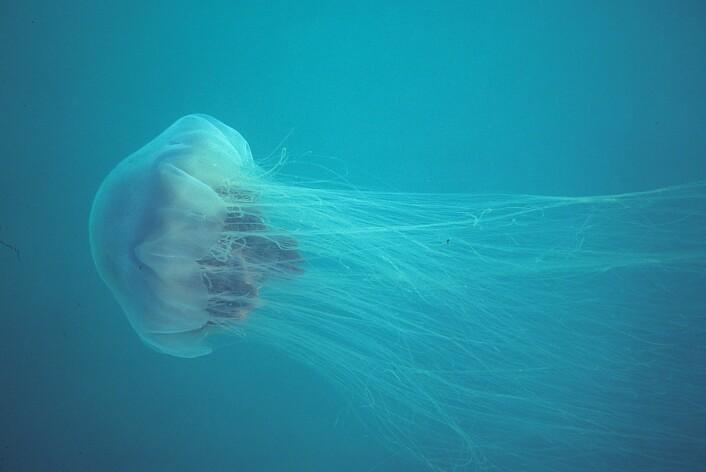 Maneten sprer trådene og lammer byttet med gift. (Foto: Derek Keats/flickr.com. CC 2.0)