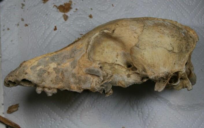En nesten 5000 år gammel hundeskalle på vei til DNA-undersøkelser. (Foto: Credit: Amelie Scheu)