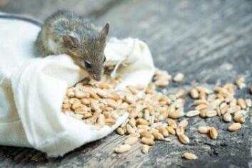 Forsøksleder Andrew Dillin vurderer ifølge sciencemag.org om manglende luktesans påvirker gnagerens oppfatning av mat, kanskje så den tror at den har spist mer enn den har. (Foto: Tiplyashina Evgeniya / Shutterstock / NTB scanpix)