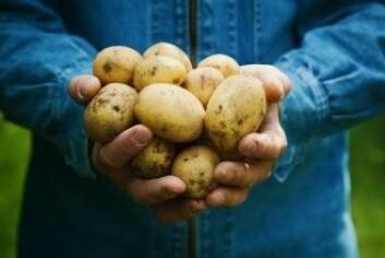 En australier kastet ut seg i et vilt – og noe ensformig – forsøk. Han levde av poteter i et helt år. Det er aldri en god idé bare å leve av én matvare, men poteten nok det beste valget. (Foto: Julia Sudnitskaya / Shutterstock / NTB scanpix)