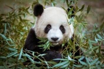 Hele 99 prosent av pandaens mat består av bambus. Det er ikke spesielt økonomisk, for det er ikke mye næring i en bambusstang. Derfor gjør pandaen heller ikke mye annet enn å spise i timevis. (Foto: PHOTO BY LOLA / Shutterstock / NTB scanpix)