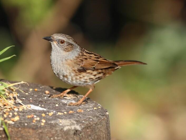 Også hos jernspurv parer hunnene seg ofte med to eller flere hanner. (Foto: Shutterstock / NTB scanpix)