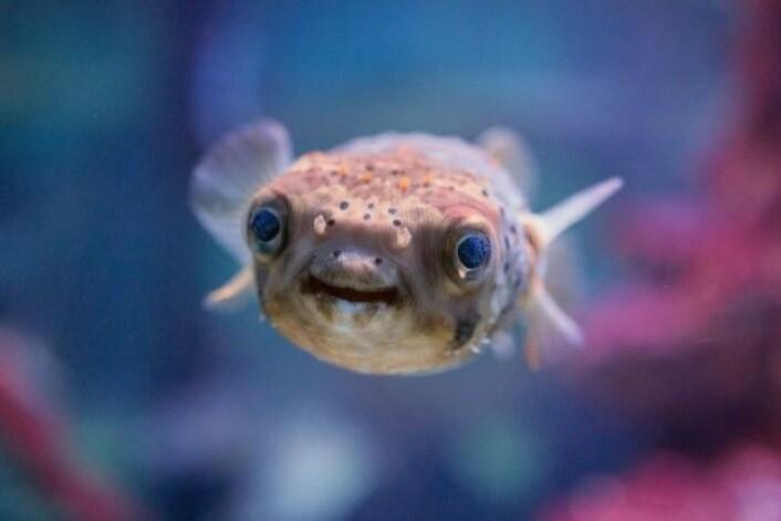Pufferfisken lager en fantastisk rosett på havbunnen. (Foto: Shutterstock)