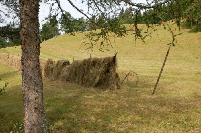 Før i tiden hengte bøndene graset opp til tørk på hesjer, som er lange gjerder de satte opp i slåtten. (Foto: Bolette Bele)