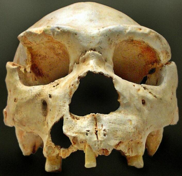 Homo heidelbergensis, et eksempel på en annen menneskeslektning som levde for mellom 600 000 og 200 000 år siden i Afrika, Vest-Asia og Europa. Denne varianten hadde omtrent like stor hjerne som oss, men hadde blant annet større bro over øynene og en tilbaketrukket hake. (Foto: José-Manuel Benito Álvarez/CC BY-SA 2.5)
