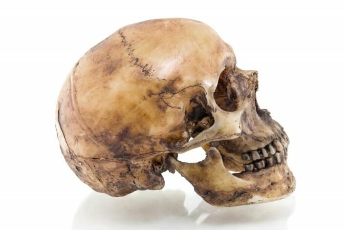 En menneskeskalle. Sammenlignet med Jebel Irhoud-skallen, er den rundere og høyere, og det er plass til en større hjerne. (Foto: witoon214 / Shutterstock / NTB scanpix)