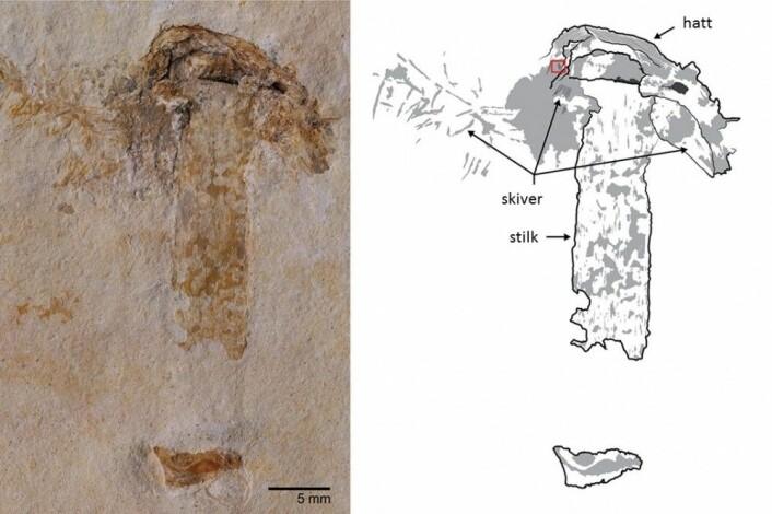 Hatten passer. Dette 115 millioner år gamle fossilet er definitivt en mushroom-sopp. (Foto: Jared Thomas. Tegning: Danielle Ruffatto)