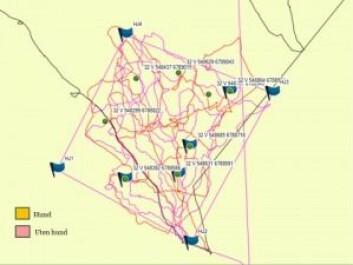 Sporlogg med og uten hund fra eksperimentelt felt i Gausdal kommune. Hunden, i oransje farge, fant halvparten av de åtte kadavrene som var lagt ut, indikert med flagg. Dette var det beste resultatet oppnådd i de eksperimentelle felt-testene. Søkspersonen uten hund, merket med rosa, fant ingen kadavre. De fire flaggene i hjørnene rammer inn forsøksfeltet. (Kart: NIBIO)