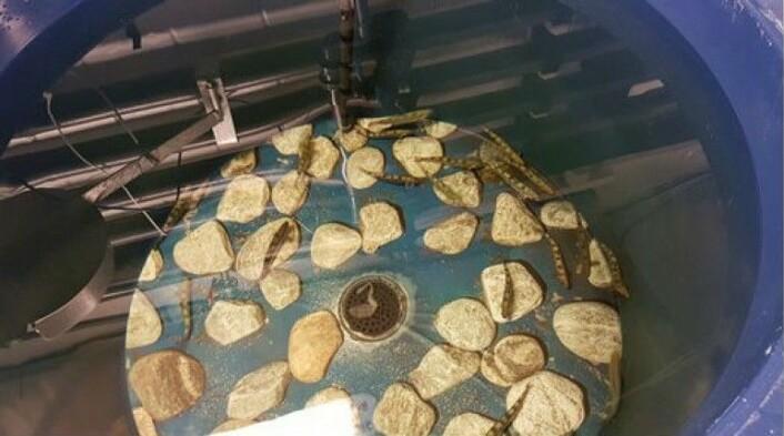 Forskerne møblerte forsøkskar med steiner for at laksen skulle ha mulighet til å gjemme seg. (Foto: Nofima)