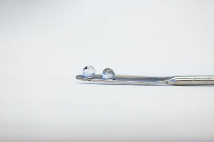 Dette biletet viser friske augelinser frå ein oppdrettslaks. Dei er gjennomsiktige slik dei skal vere. Men i varmare vatn kan dei bli blakka og fisken mister synet. (Foto: Eivind Senneset)