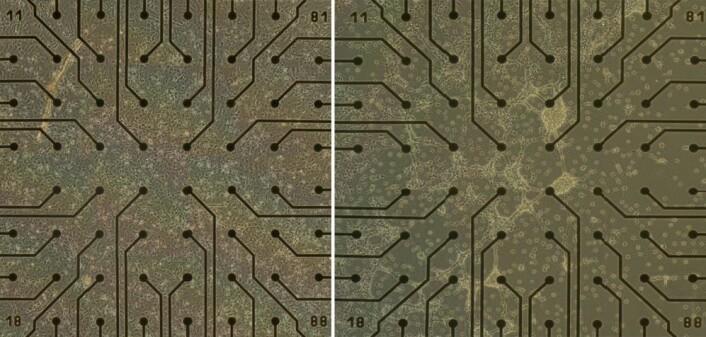 Til venstre: Nerveceller av rotte påkoblet elektroder etter to døgn. Til høyre: Etter åtte døgn ser du tydelig at det oppstår strukturer. (Foto: Gunnar Tufte, NTNU)