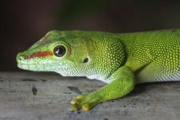 Dyrevernalliansen mener stor daggekko (Phelsuma madagascariensis) er spesielt dårlig egnet til å bli holdt i fangenskap, det samme gjelder grønn trepyton. (Foto: Shutterstock / NTB scanpix)
