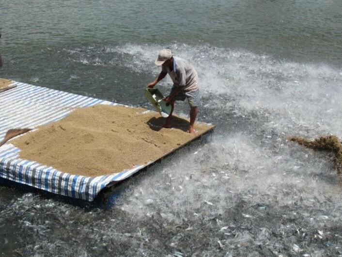 Slik driver fiskerne oppdrett av pangasius i Vietnam. (Foto: Arne Levsen)