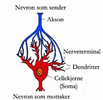 """""""Fra hver hjernecelle går det bare ett akson ut, og alle meldinger til andre celler skjer gjennom dette aksonet. Det forgrener seg så det kan sende meldinger til mange andre celler, og her ser vi hvordan en slik forgrening har koblet seg til en annen hjernecelle. En slik kobling kalles en synapse."""""""