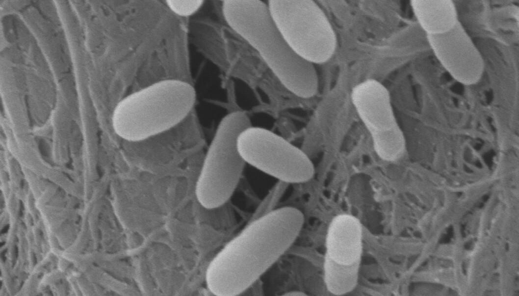 Organiske syrer kan erstatte antibiotika
