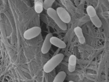 """""""E. coli finnes normalt i tarmen hos dyr og mennesker, men noen spesielle typer kan gjøre oss syke. Foto: Margarita Novoa Garrido og Steinar Stølen."""""""